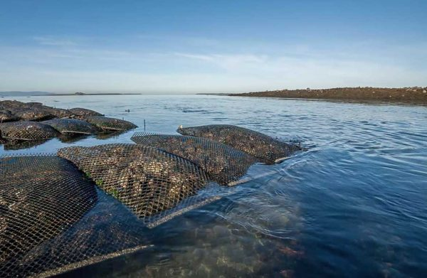 Oyster Nets